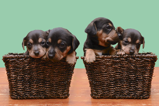 four puppies in two wicker baskets