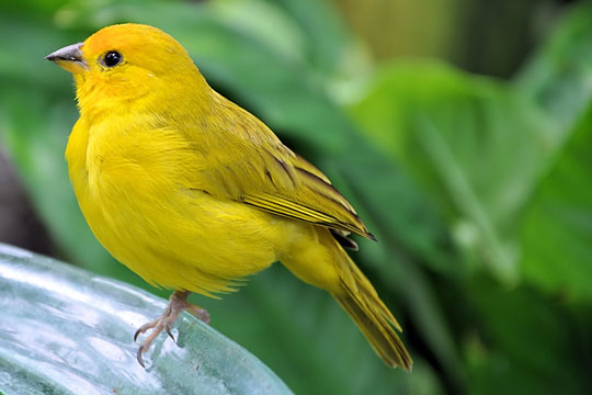 yellow bird against a blurry green background